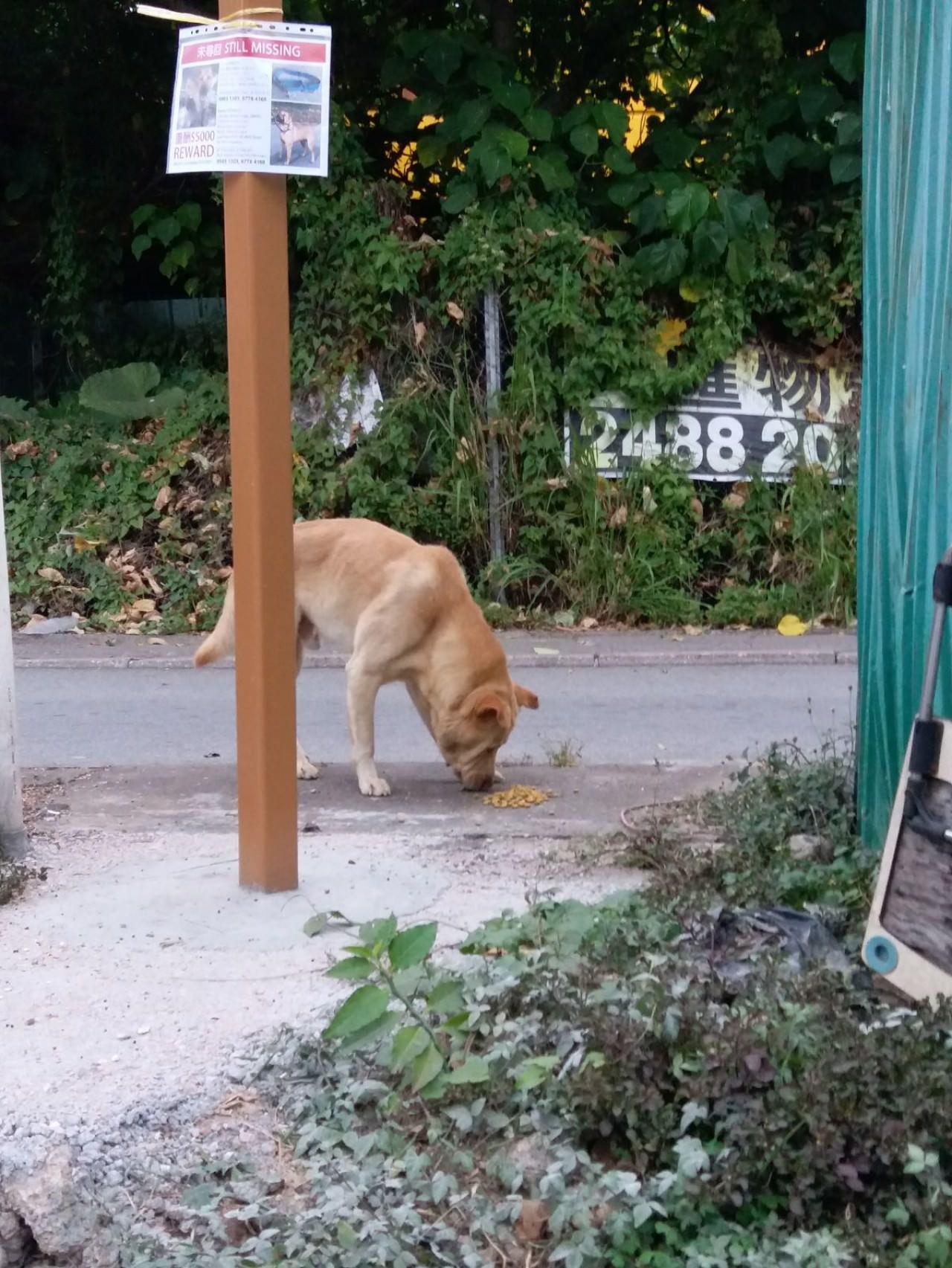 有位地盤工友早上7時通報,說附近最近有一隻生面口的啡色狗,義工到場後再次撲空,這不是Stanley。(受訪者提供)