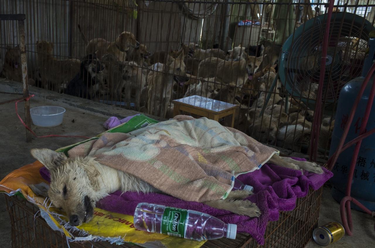 圖為被愛狗人士買下的狗。在玉林,不少被販賣的貓狗,原本是寵物。(資料圖片 / 梁鵬威攝)