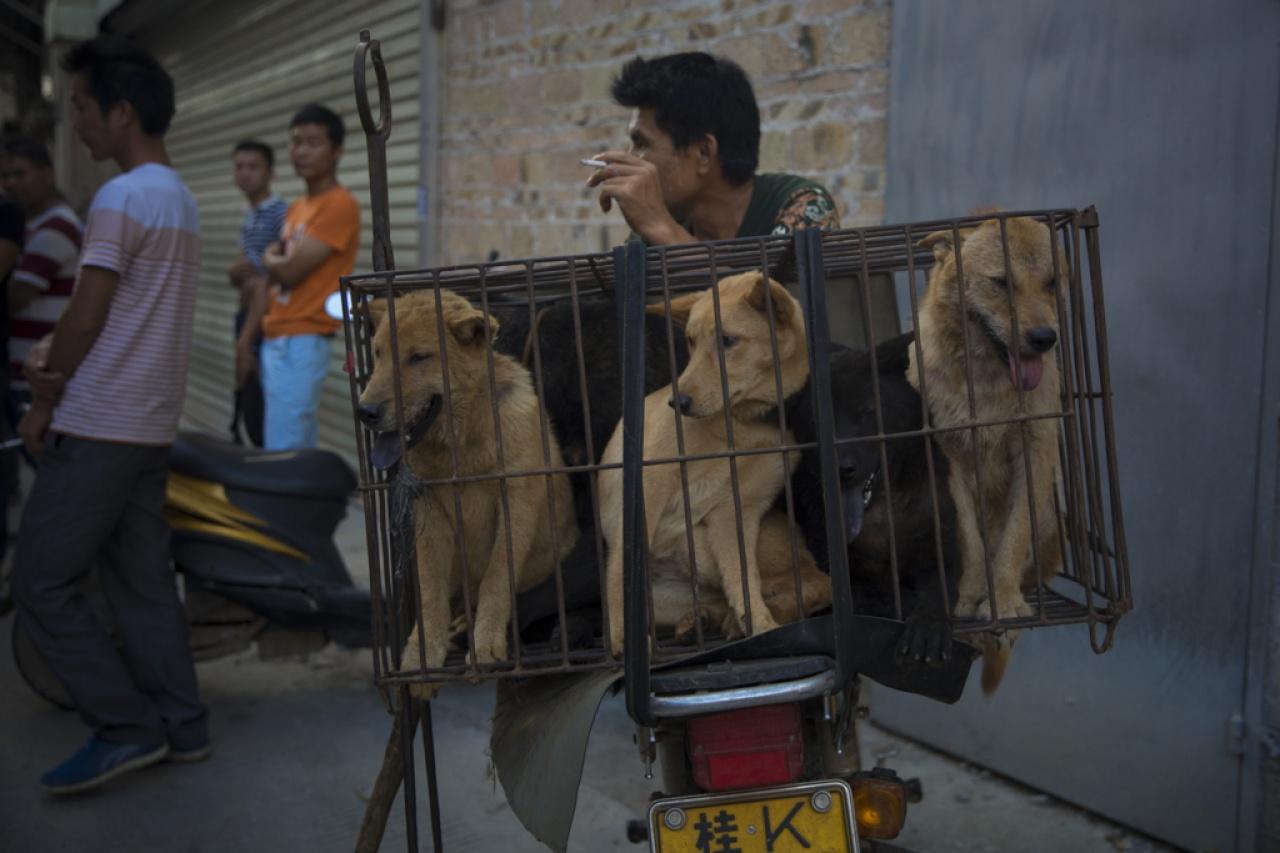 玉林狗販一天內可屠宰成千上萬隻狗。(資料圖片 / 梁鵬威攝)