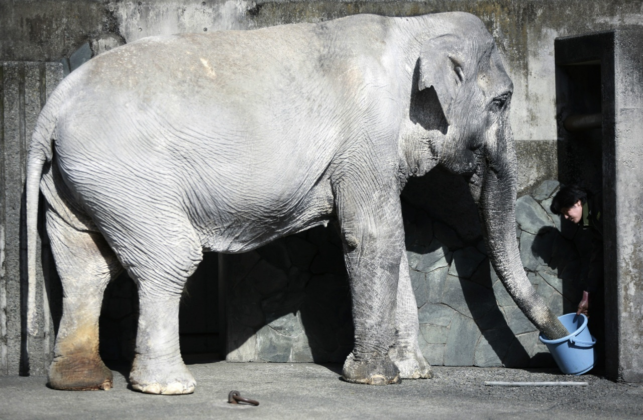 大象本是群體動物,日本最長壽大象「花子」,卻被迫在動物園內孤獨生活六十多年,最終孤獨老死。(資料圖片)