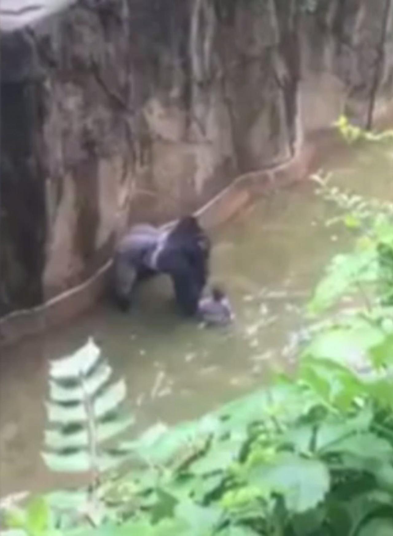 遭射殺的銀背猩猩Harambe。(網上影片擷圖)