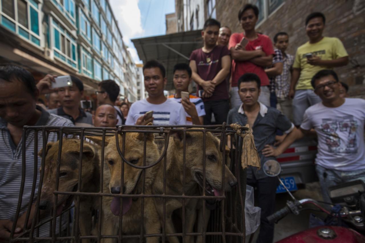 2016年玉林狗肉節雖然沒有出現當街宰殺狗隻的情況,但市場仍有不少人帶着一籠一籠的狗隻兜售,當地吃狗肉的情況似乎沒有減退的跡象。(資料圖片 / 梁鵬威攝)