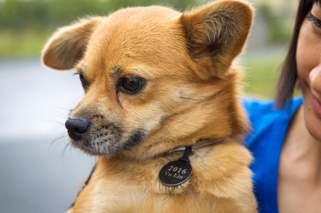 2016年狗肉節,微善接收了由其他動物組織拯救出來的狗隻,然後由愛護動物協會進行晶片植入及性格評估,讓牠們可以有被領養的機會。(愛護動物協會提供)