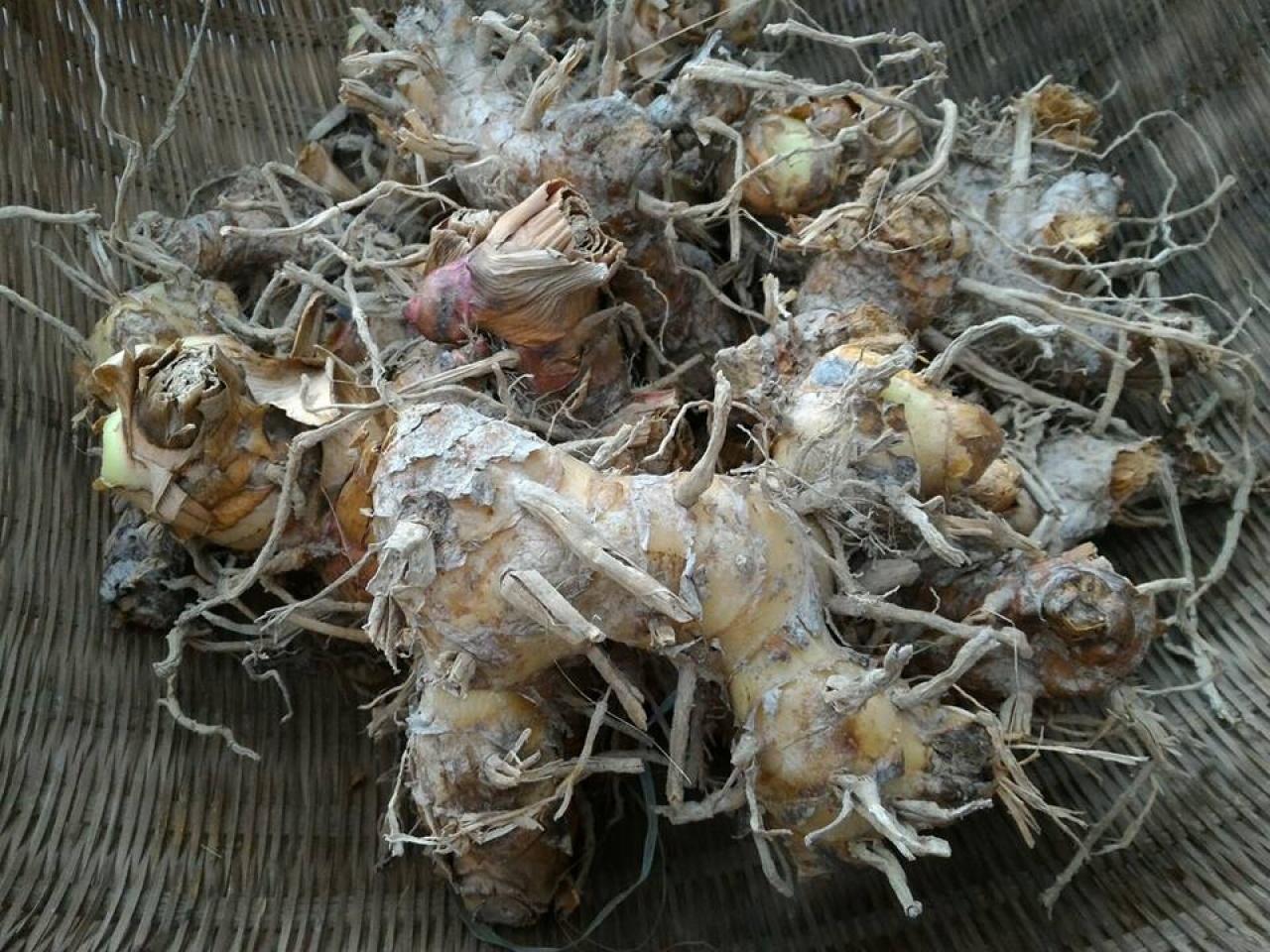 今年冬天豐收的作物有白蘿蔔、薑、黃薑。(活耕建養地協會 - 南涌FB)