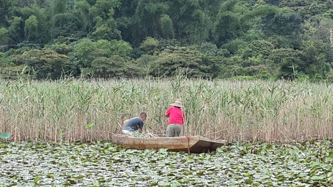 要預備用來編織的蘆葦,農夫便要到河塘中收割。(活耕建養地協會 - 南涌FB)