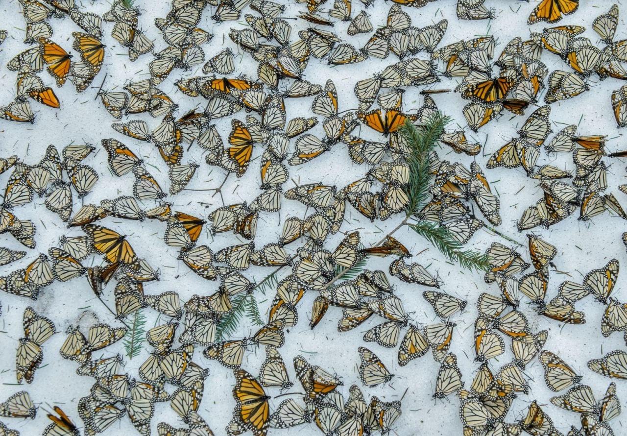 Jaime Rojo拍攝風雪下的蝴蝶屍體,反映氣候變化下動物生存出現危機。