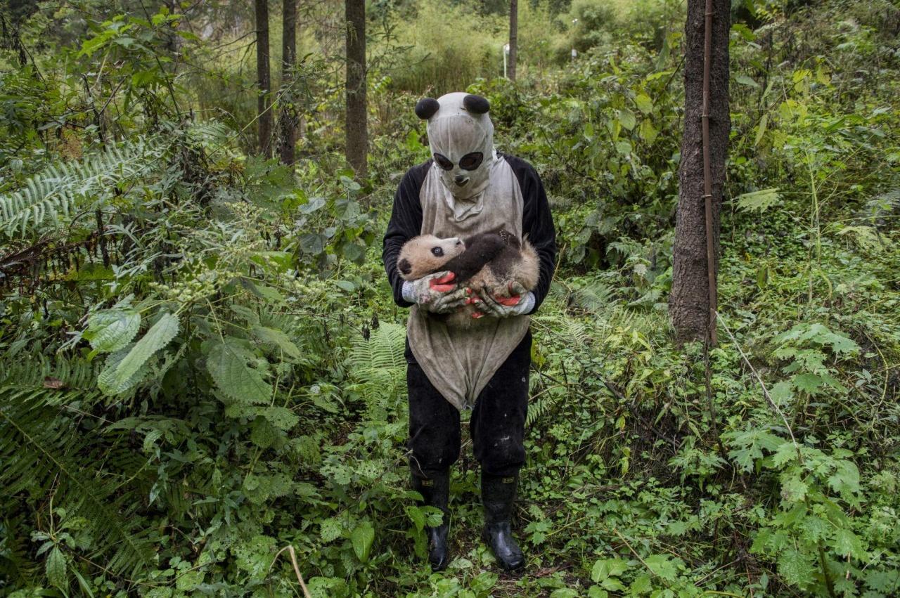 臥龍自然保護區的護理人員與小熊貓。(World Press Photo)