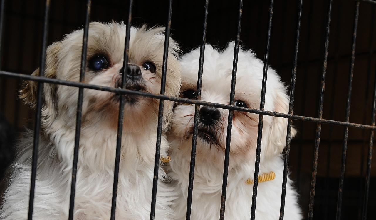 市場對純種犬的需求大,不少商家為追求最大利潤,經常不顧狗隻安全過度繁殖。(Getty Images)