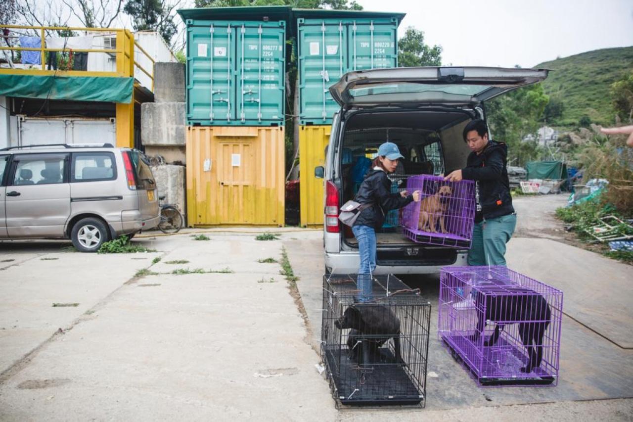 經10天休養後,義工把狗狗送回倉庫,下一步打算為一些較親人的狗狗尋找領養。(黃寶瑩攝)