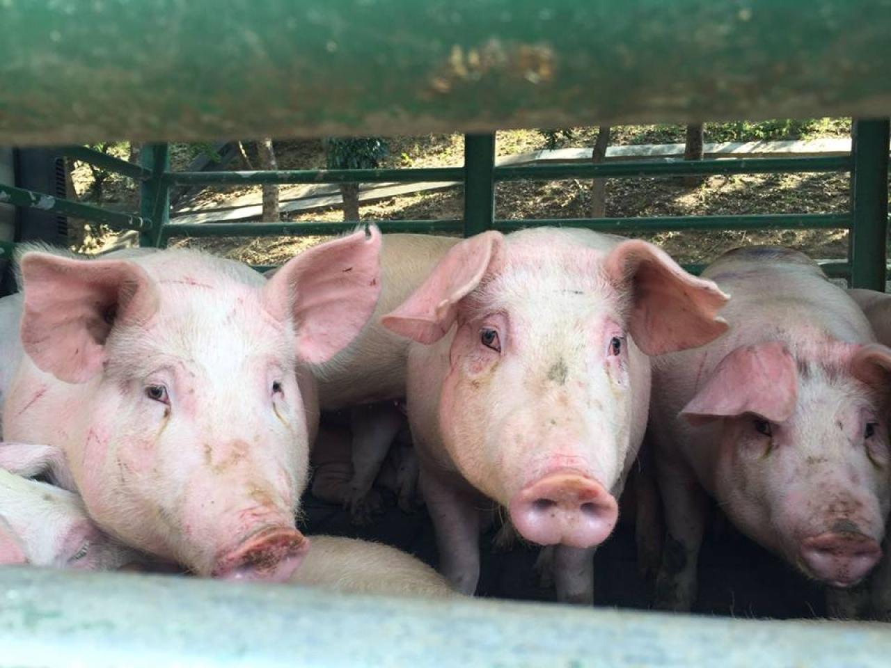 「豬和人很相似,同是哺乳類動物,所以揀了豬作切入點。」一芯說。(受訪者提供)