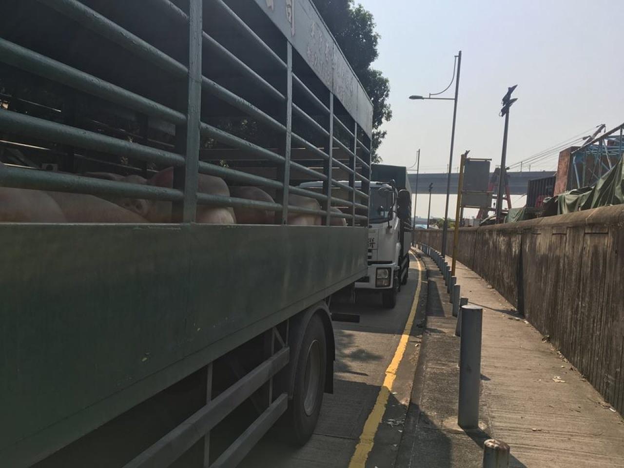 一芯指據觀察,每次來屠房的運豬車約有10車,每次約20隻豬,每天送豬次數應不只一次。(受訪者提供)