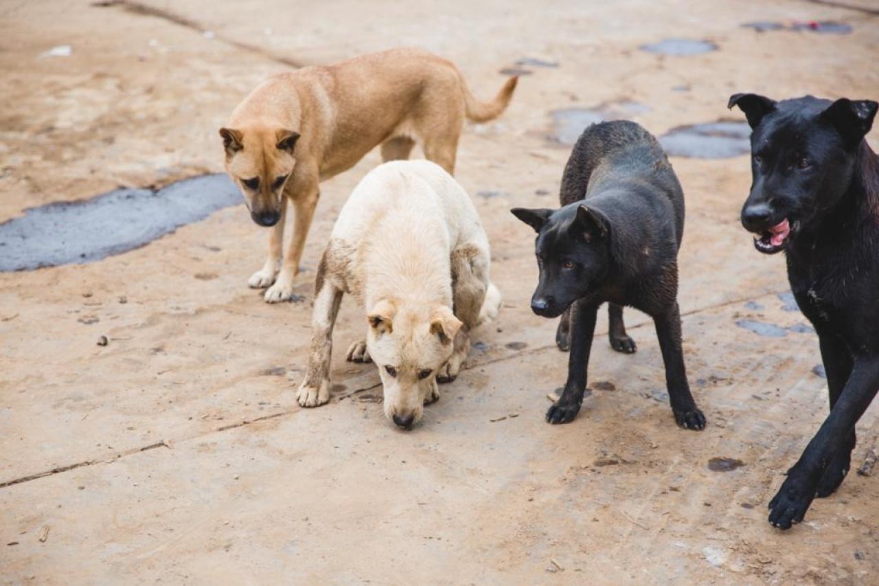 本地流浪狗以唐狗佔大多數,因此愛協有「唐狗免費絕育計劃」,鼓勵更多人為狗隻絕育。(黃寶瑩攝)