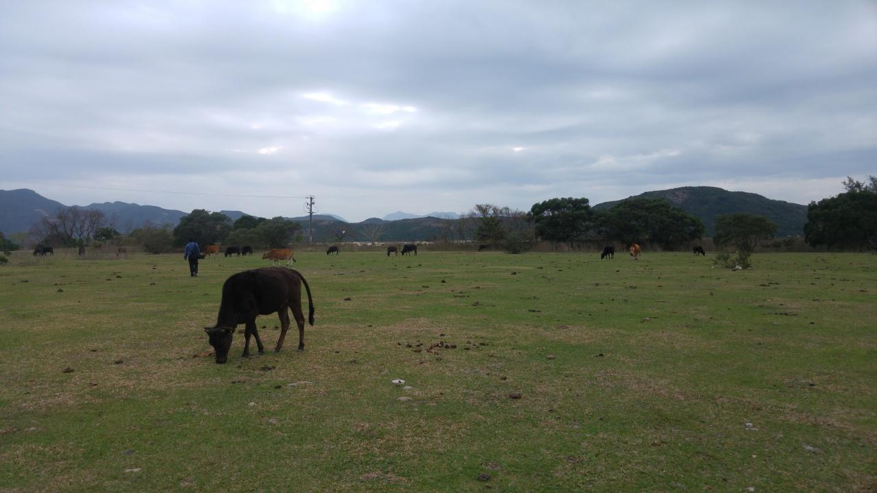 漁護署早前回覆記者查詢,指牛隻調遷是為了減少交通擠塞,及確保牛隻安全。(吳韻菁攝)