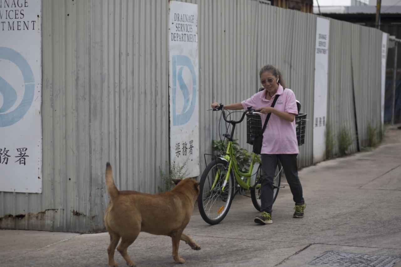 長洲早前試行社區狗TNR(捕捉、絕育、放回計劃),動物團體希望推展到18區進行。(吳鐘坤攝)