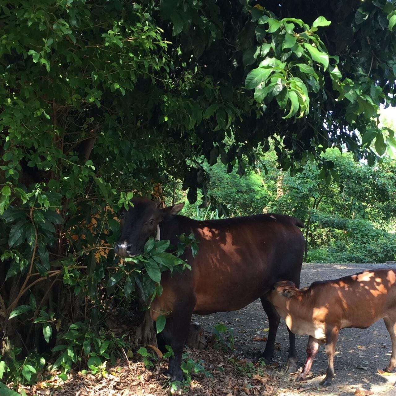 村民指719號小牛於去年6月出世,一直隨媽媽生活並以母乳作主食。漁護署指719號牛康復後亦會調遷。(受訪者攝)