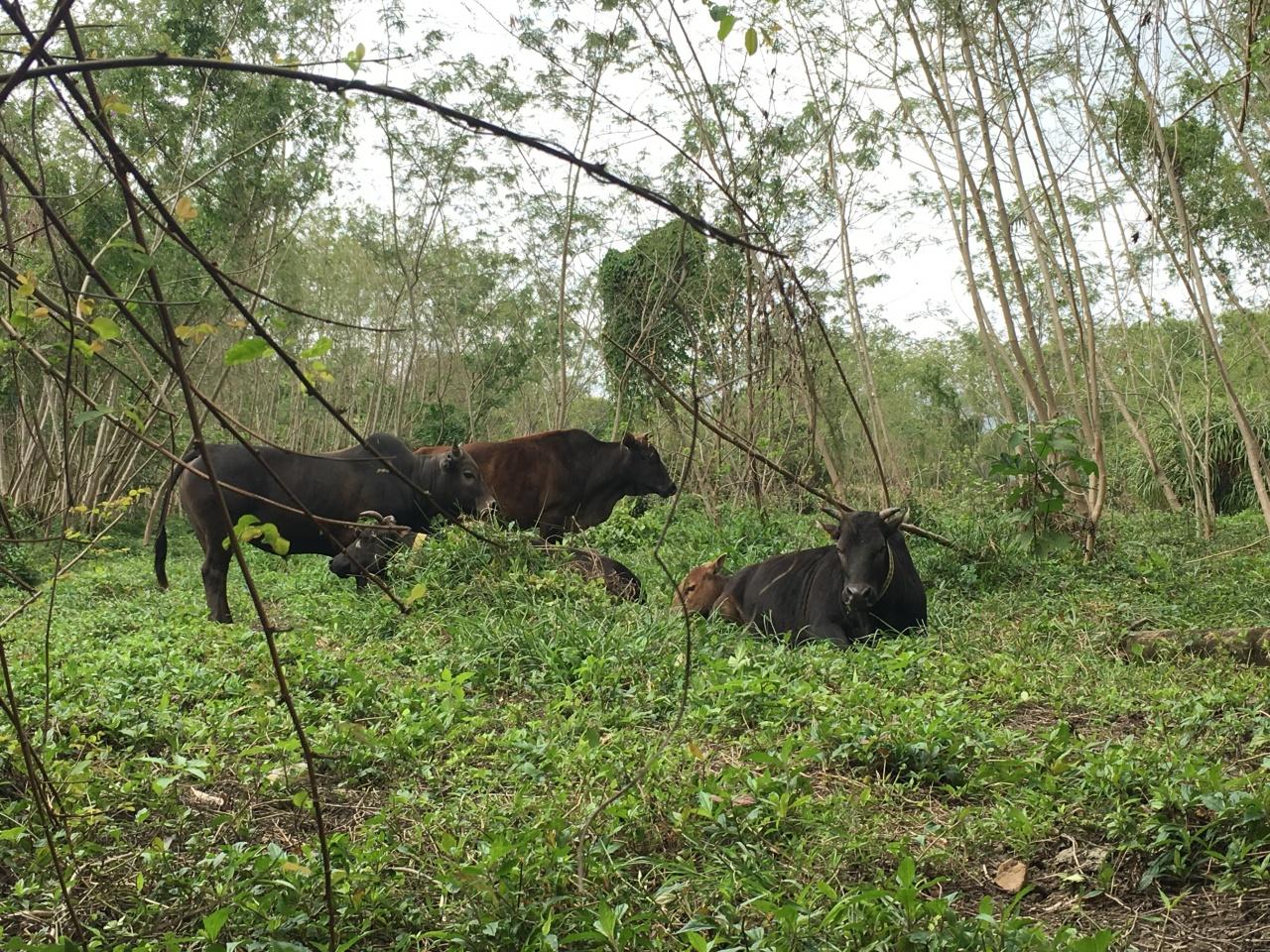 十四鄉一帶的牛群,會行過幾條村覓食和散步休息,不少村民都當牠們是街坊。(吳韻菁攝)