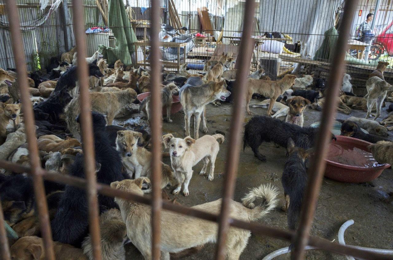每年中國大約千萬隻狗及400萬隻貓在中國被宰殺,而狗肉節期間有數十萬隻動物被屠宰。(資料圖片 / 梁鵬威攝)