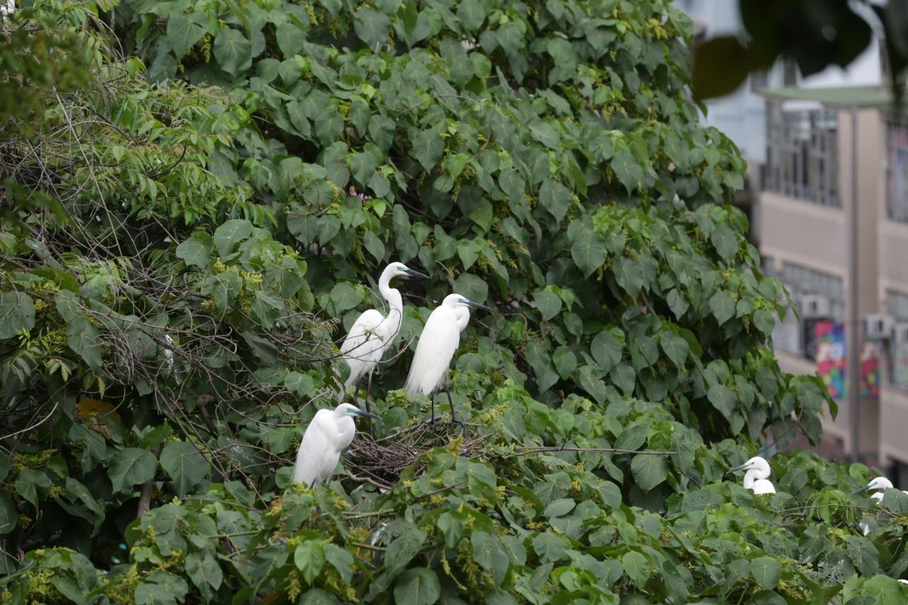 5月3日,大埔鷺鳥林還是白鷺等的棲息樂土。(黃偉民攝)