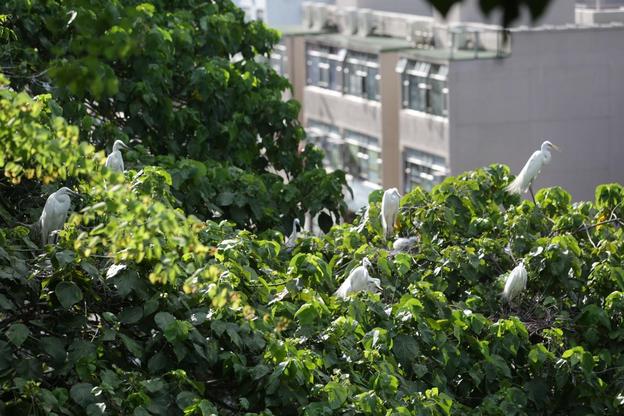 6月7日,大埔鷺鳥林經歷了一場浩劫。(黃偉民攝)