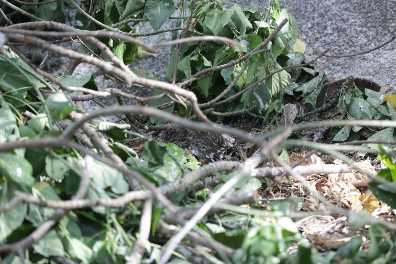 地上亂枝中可見一池鷺雛鳥失落街角,地上覓食。(黃偉民攝)