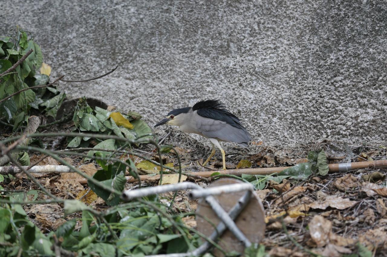 廣福道除了小白鷺,亦有夜鷺築巢繁育下一代。(黃偉民攝)
