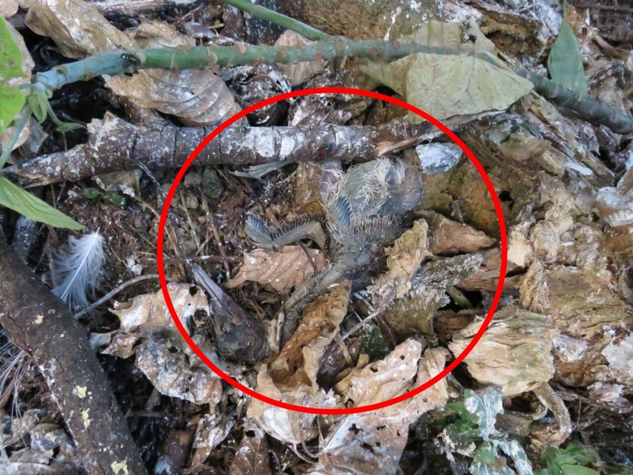 在康文署修剪樹木後,發現出現鷺鳥BB(紅圈內)的屍體。(香港觀鳥會提供)