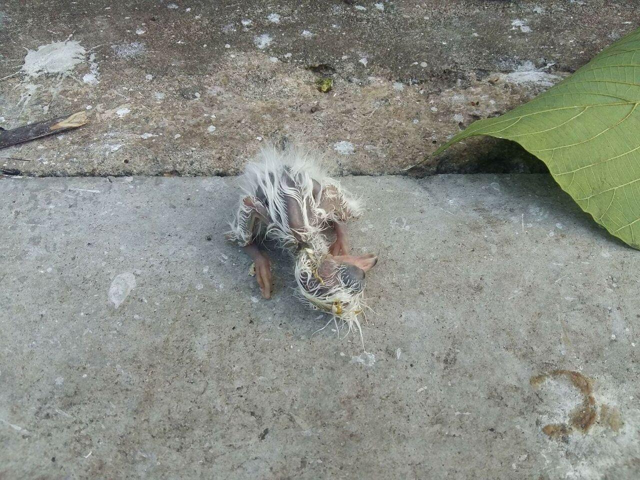 有市民發現大埔鷺鳥林今午進行斬樹時,令多隻鷺鳥雛鳥跌落,於地上奄奄一息。(大埔街坊提供)