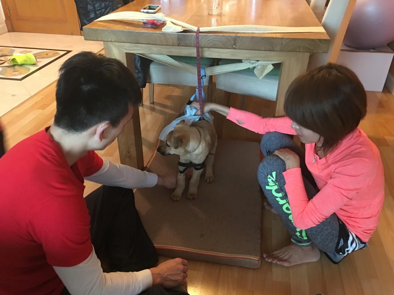 義工在家中以簡單裝置,為牠進行日常康復練習。(ChiWing DogBase提供)