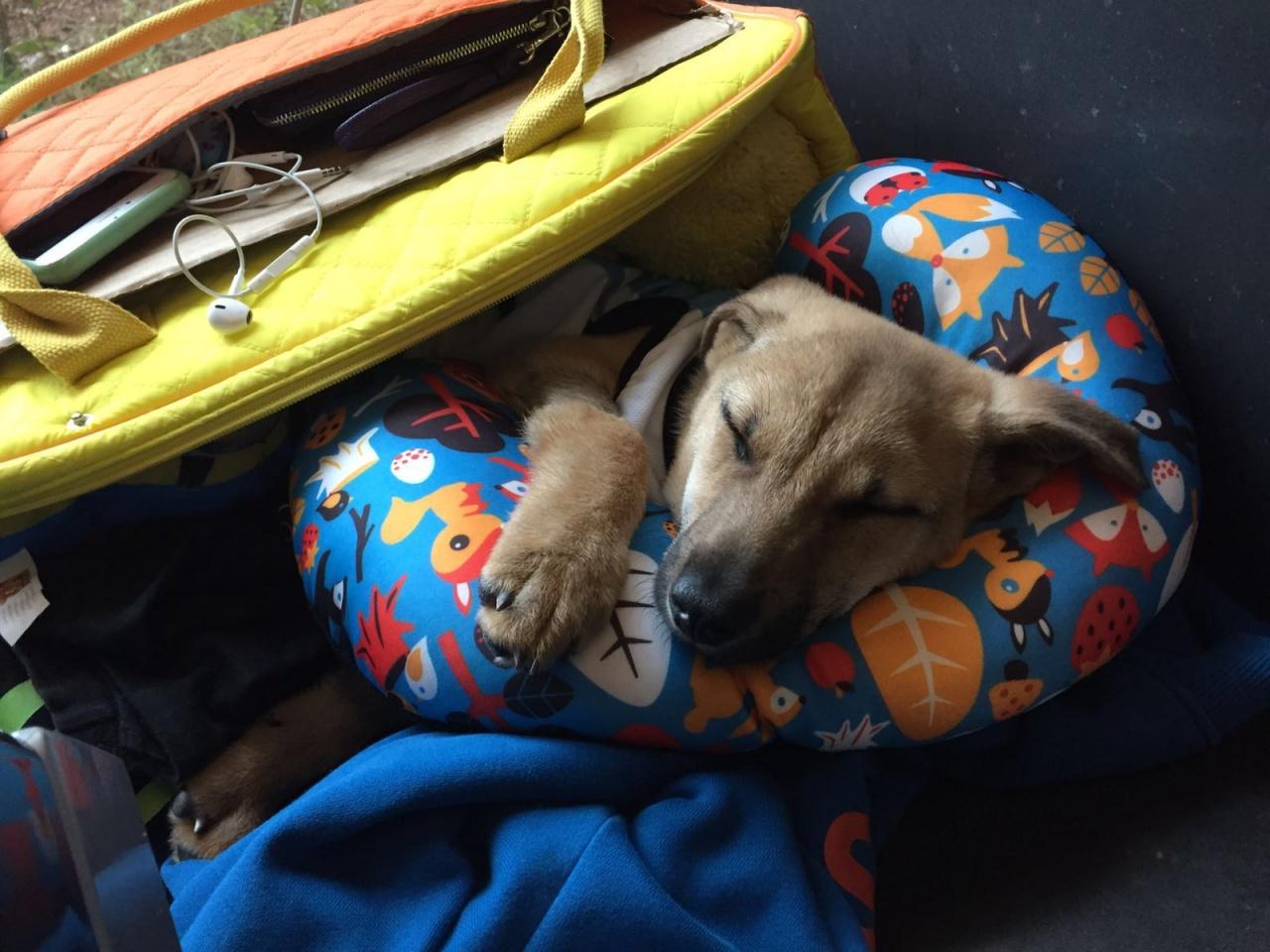 還在幼犬期的希希,樣子惹人憐愛。(ChiWing DogBase提供)