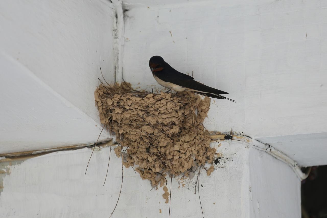 家燕那時正在巢內孵蛋。(資料圖片/黃偉民攝)
