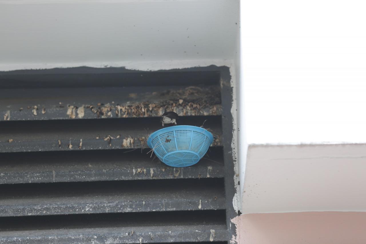 新街市里的長洲市政大廈一面,一簷下曾有燕子築巢,但被拆掉,有街坊後來在旁邊的窗上掛上膠筲箕,為燕子製作一個臨時的家。(黃偉民攝)