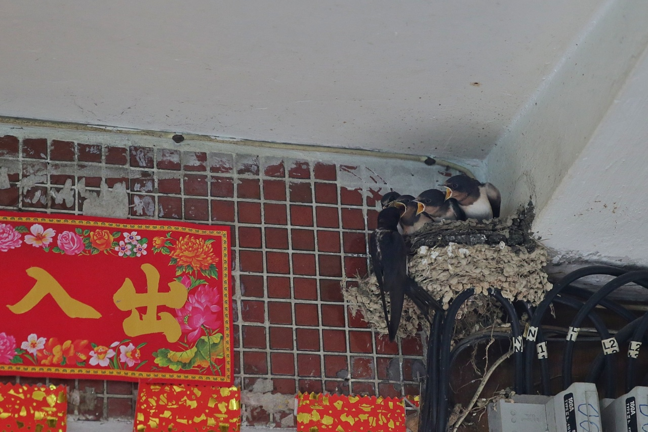 有民居家門外的電線上也有燕巢。(黃偉民攝)