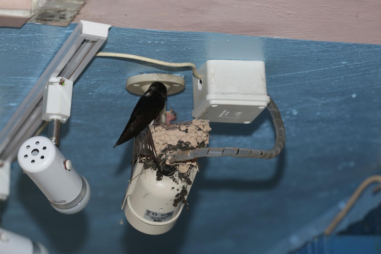 長洲有不少燕子在燈泡、燈罩上築巢。(黃偉民攝)