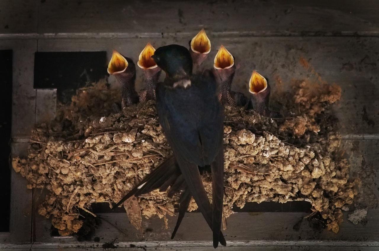 這張名為「五福臨門」的照片,正是新金花餐廳新掛上的雛燕玉照。(林潤強提供)