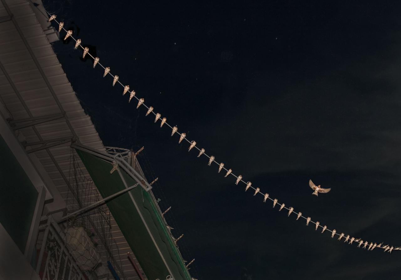 長大的燕子會離巢遠飛。(林潤強提供)