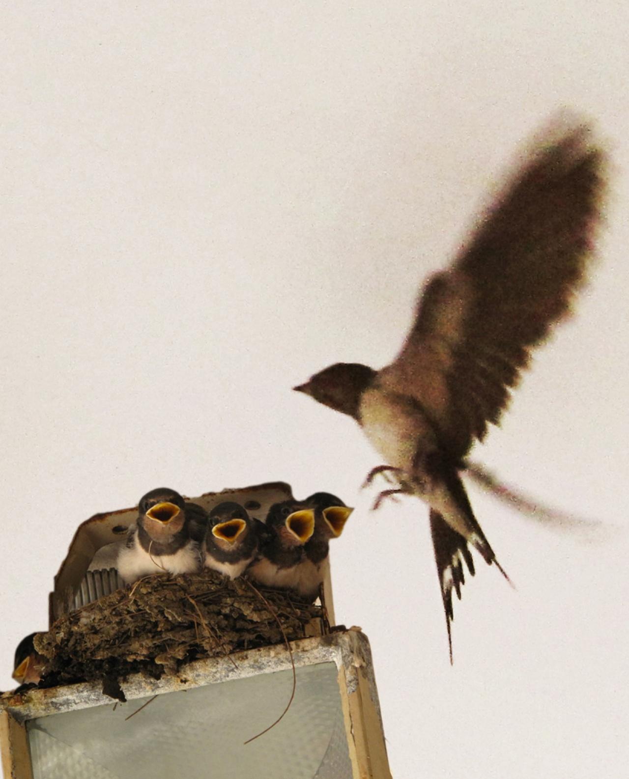 有家燕築巢燈箱上,不怕跌下來。(林潤強提供)