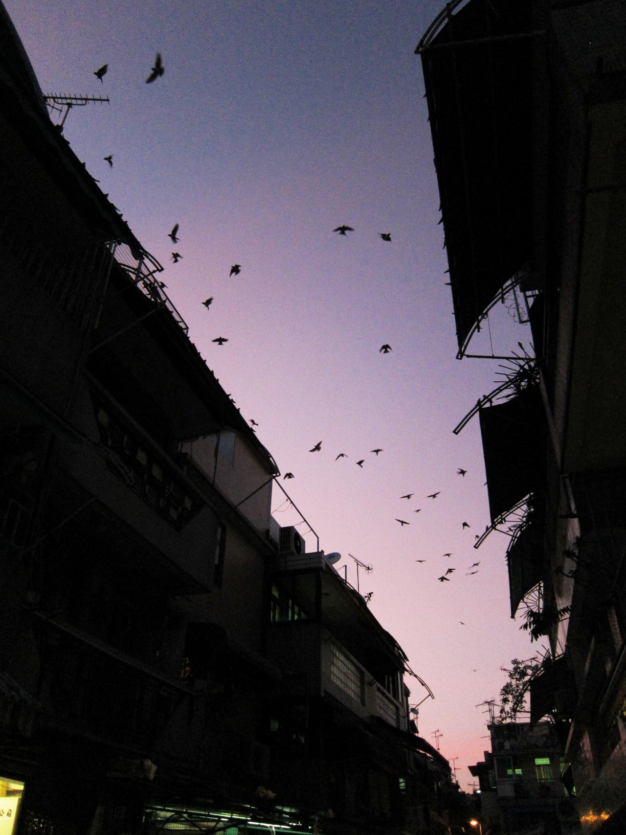 鳥季時,長洲常見漫天飛燕的景氣。(林潤強提供)