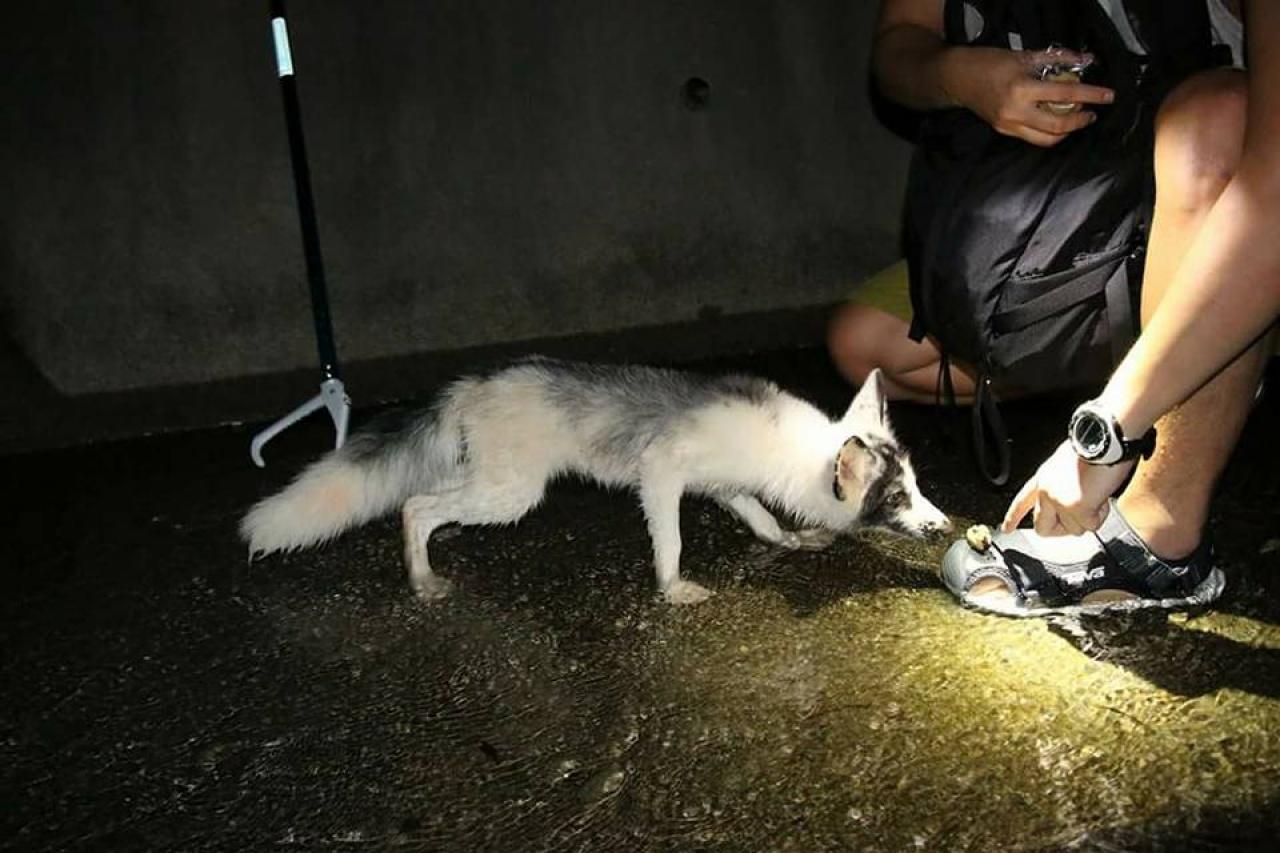 小狐狸對陌生人有戒心,但因饑餓而靠近人類吃麵包。(資料圖片)