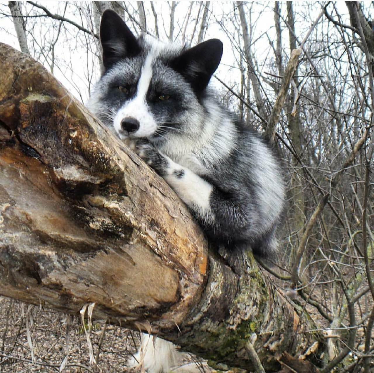 狐狸於Save A Fox的生活情況。(Save A Fox網頁圖片)