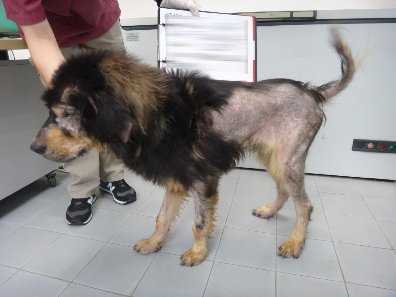 虐待動物案件中,動物是重要的證物,有既定程序及指引處置動物。(SPCA提供)
