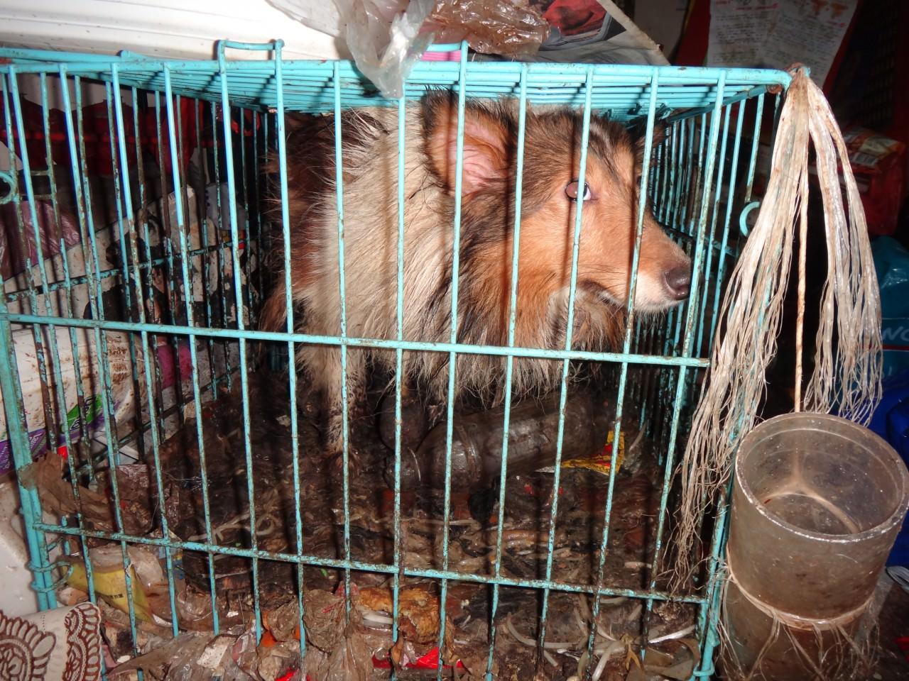 愛協督察到達現場後,會協助察方搜證,如記錄籠子的大細、糞便的厚度等虐待的證據。(SPCA提供)