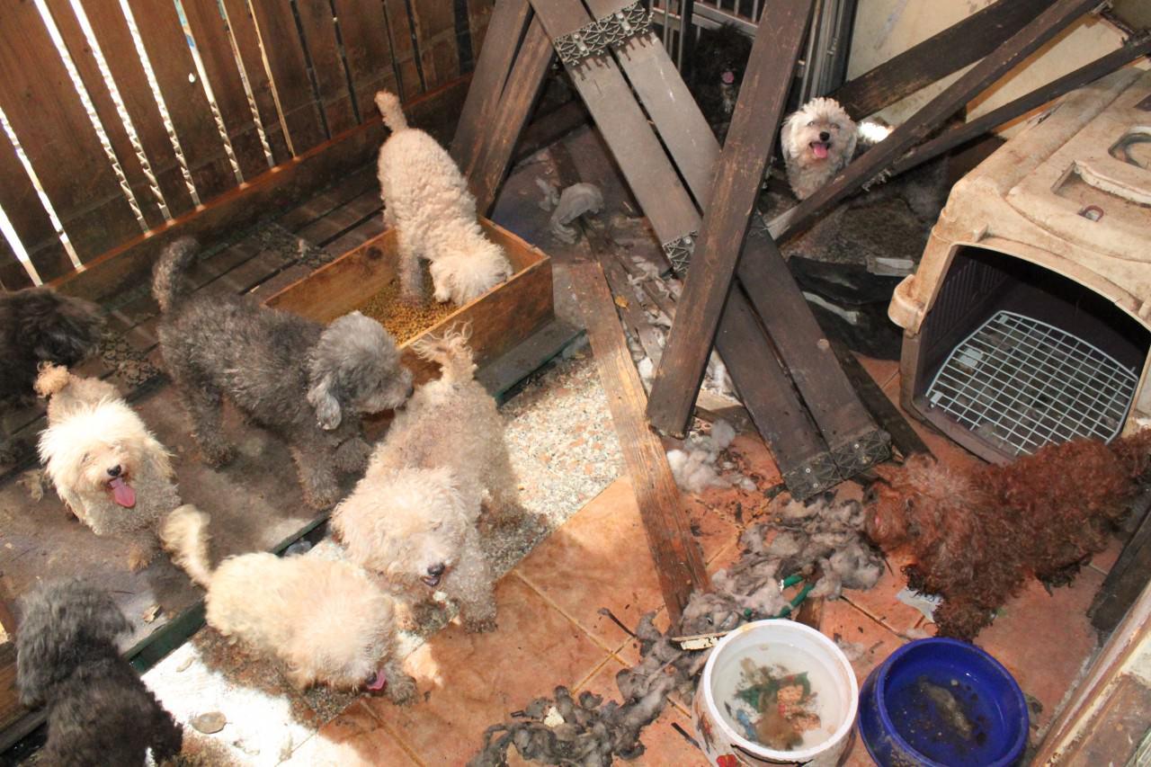 愛協督察指調查的經驗,令他們能夠憑叫聲、氣味等微細的線索,隔着門也能在屋外判辨出動物是否受虐。(SPCA提供)