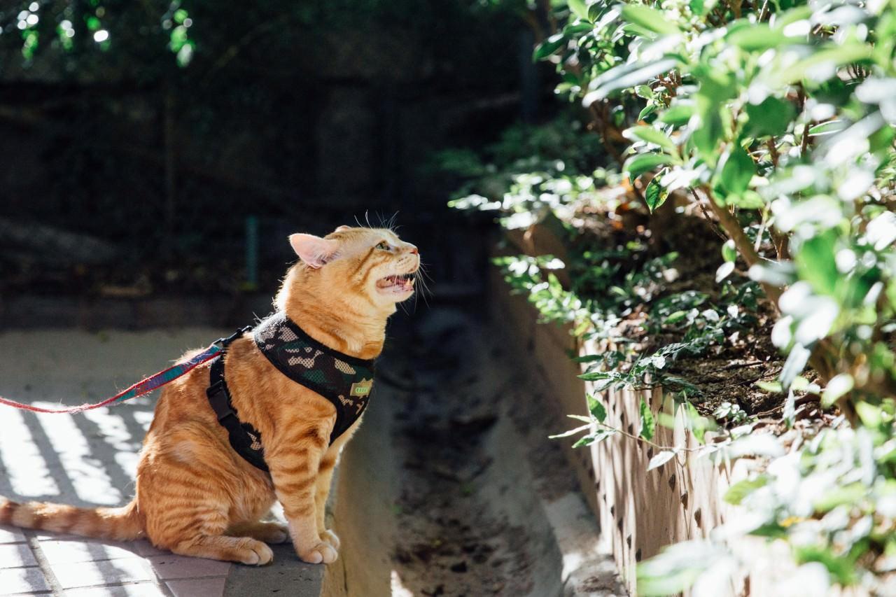 老虎仔不羈的個性,為牠惹來不少桃花,牠常在這裏與一街貓女「互喵傳情」。(鍾偉德攝)