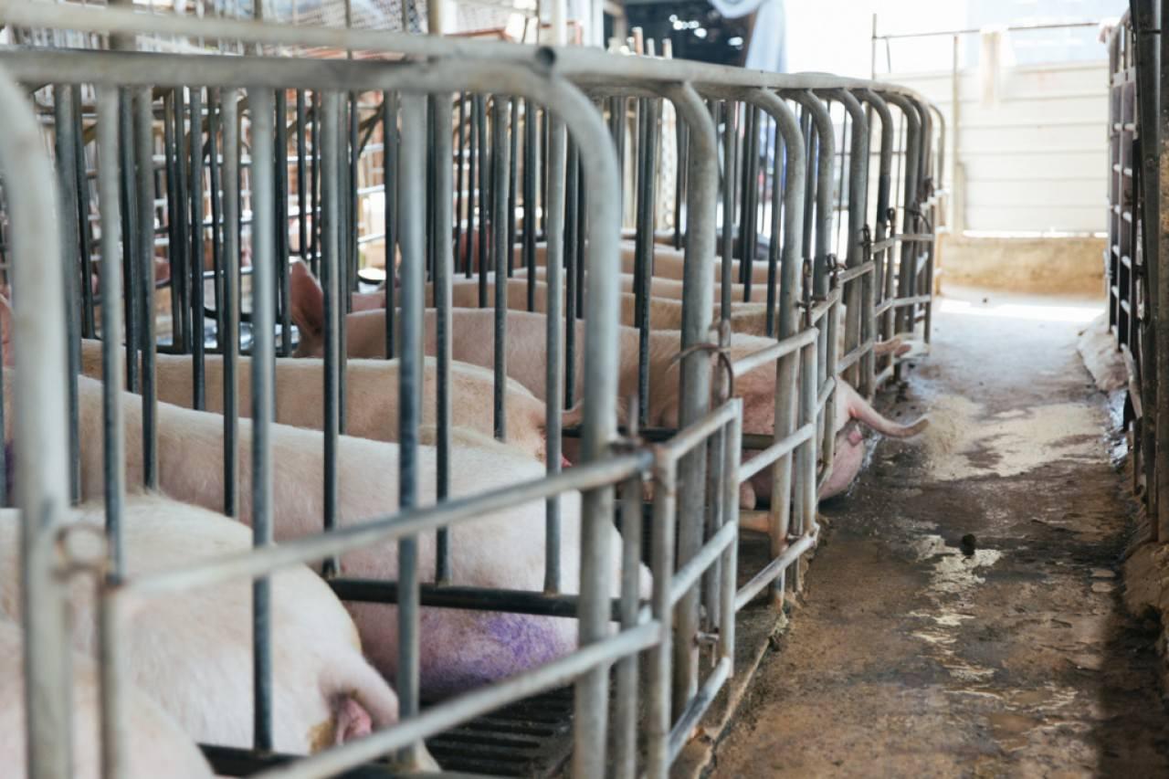 母豬大部分時間要困在圍欄中。 (陳嘉元攝)