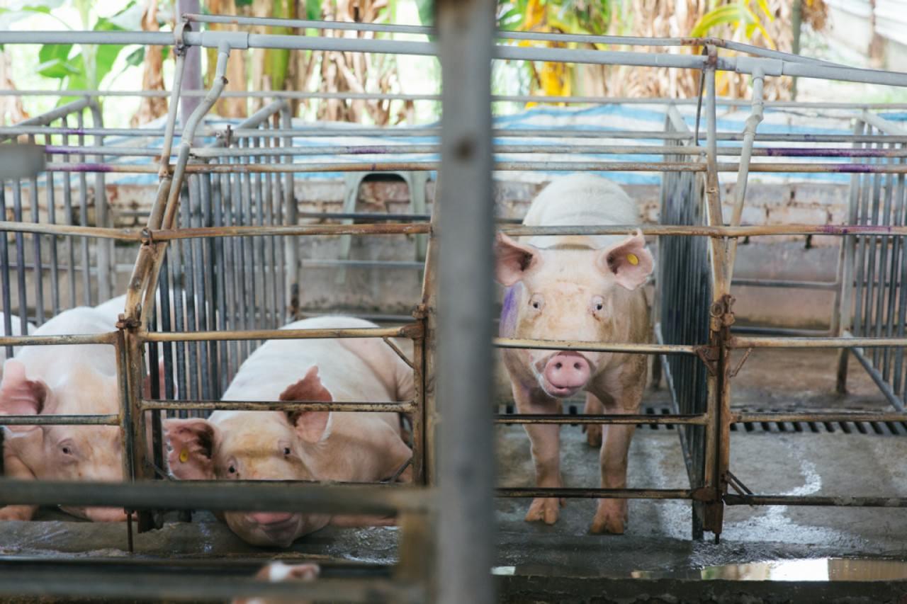 一隻母豬一年會生育2次。 (陳嘉元攝)
