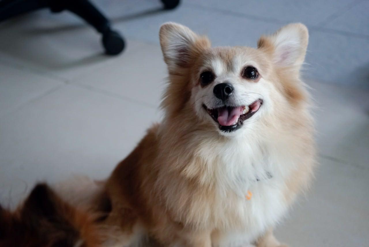 雖然老邁的阿B病痛也很多,但牠也是家中的愛笑天使。(沈敏怡攝)