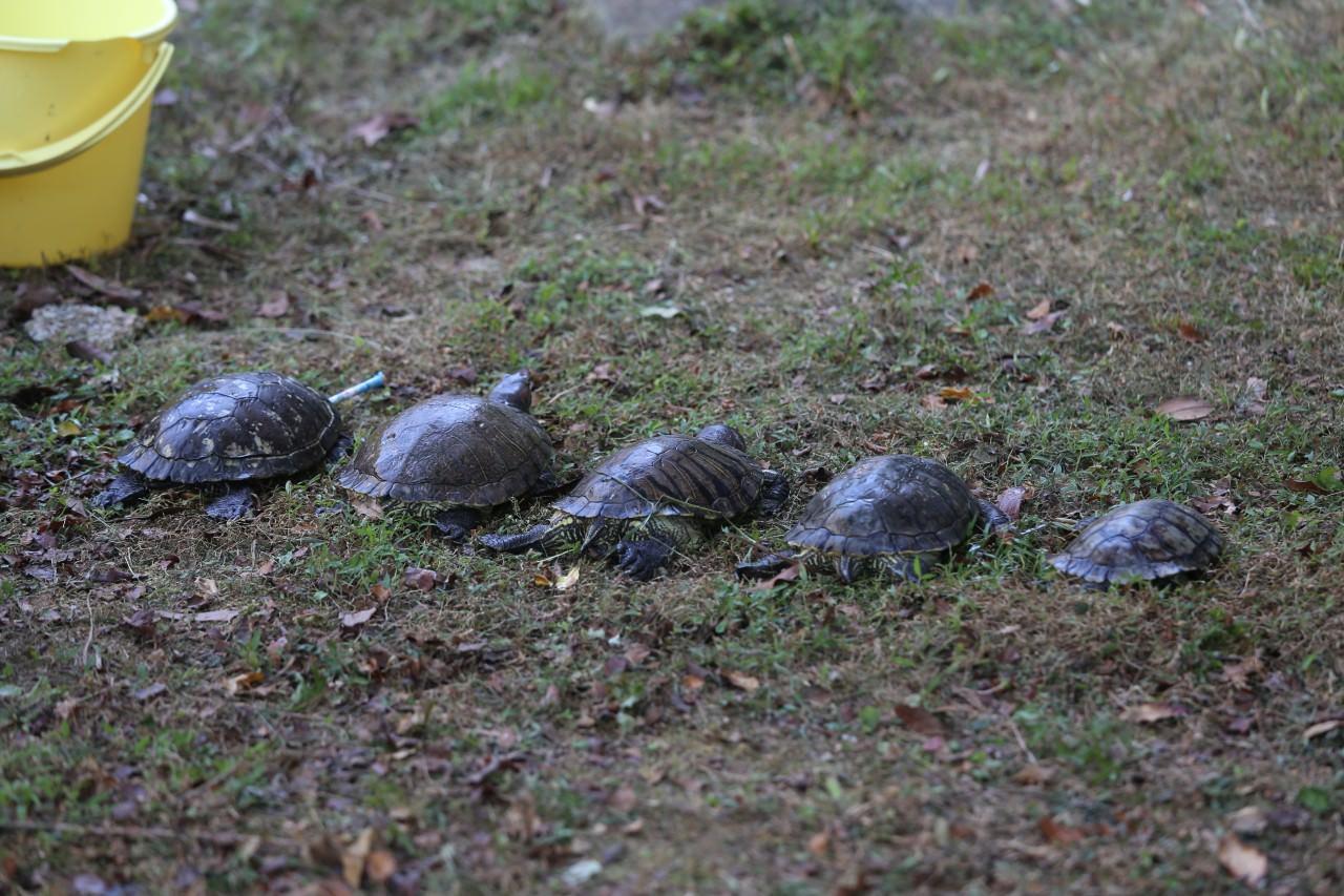 愛協職員將受傷巴西龜救起。(楊婉婷攝)