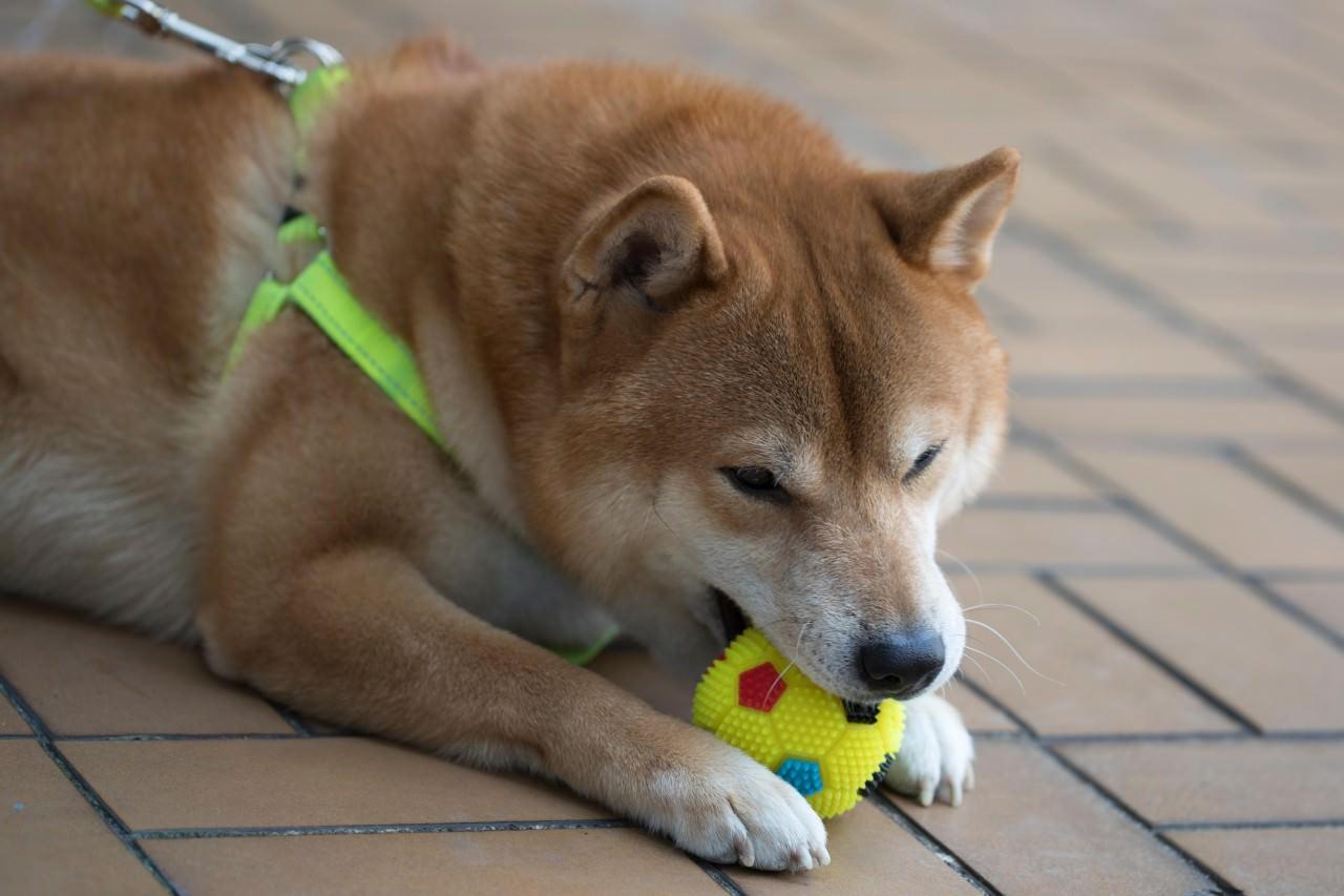 黃色小球是得得的最愛,到口緊咬便不會放。(余俊亮攝)