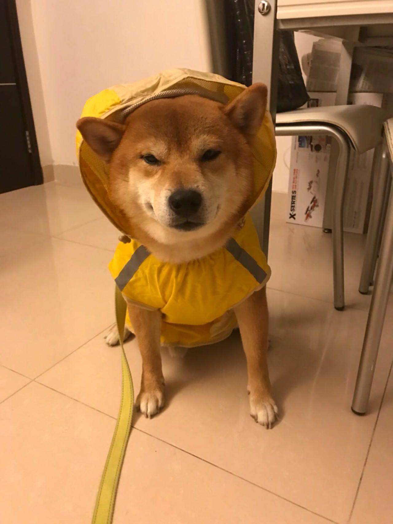 得得與其他狗狗一樣,下雨天也會穿上雨衣。(受訪者提供)
