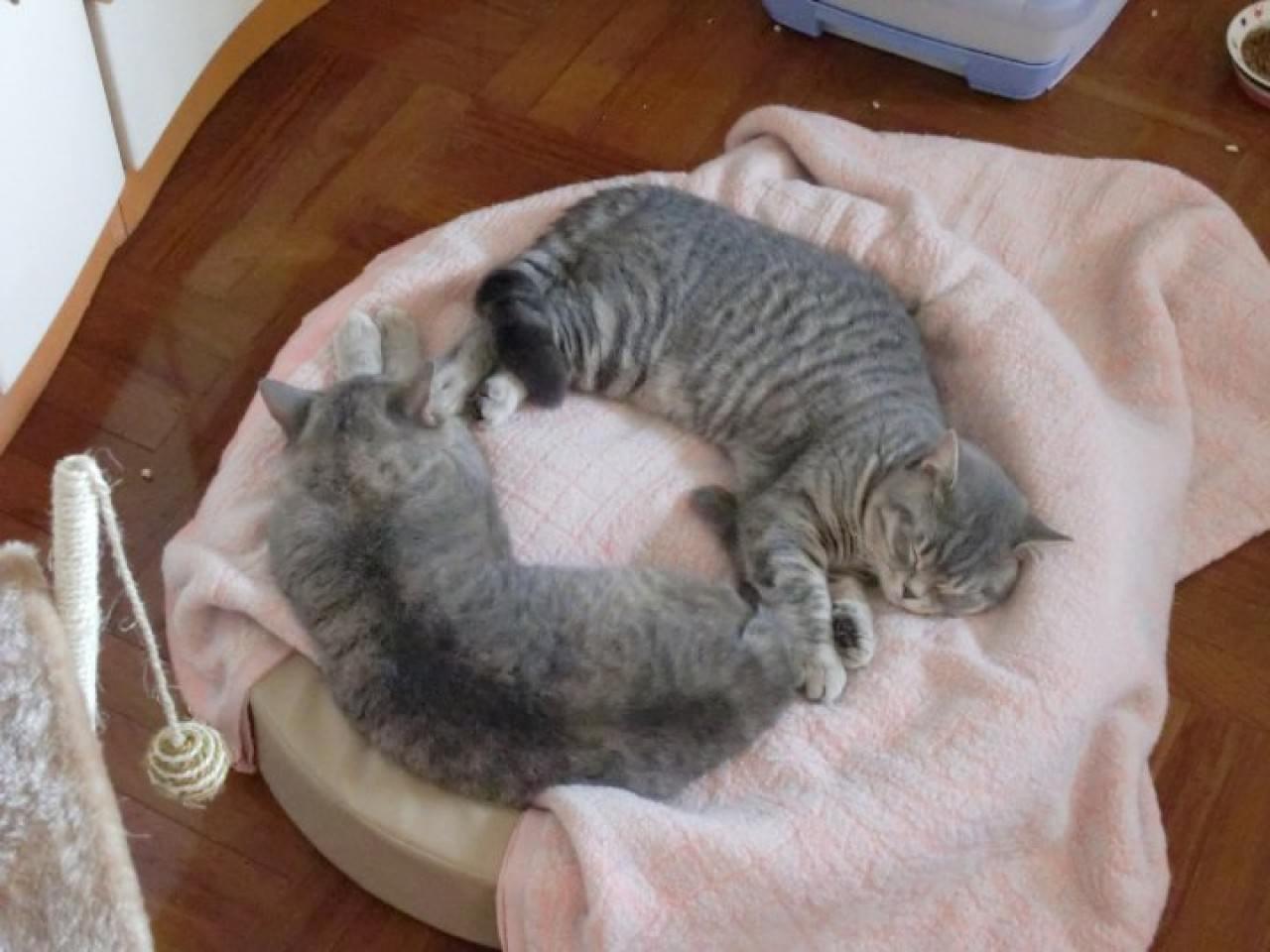 英國短毛貓包包與豆豆,是最先入屋的主子。(受訪者提供)